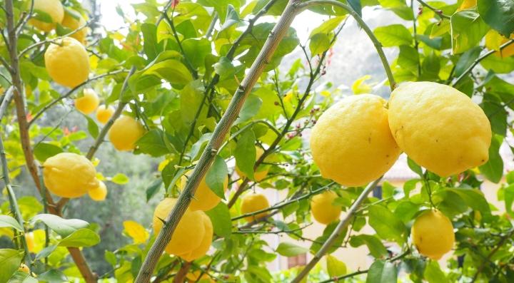 lemon-1117565_1920.jpg